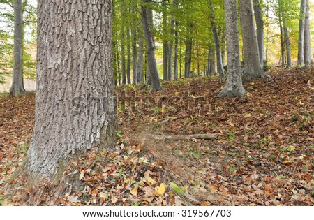 Close up, macro of a oak trunk. Colorful leaves, foliage on the ground. Beech forest, trees in the background. - stock photo