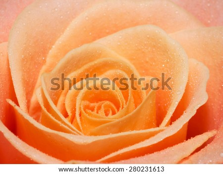 Close up macro of a peach rose - stock photo