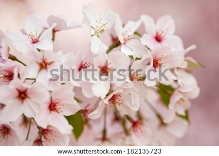 Close up macro of pink cherry blossoms in bloom in the springtime in Washington DC - stock photo