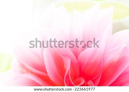 Close up macro petal of pink flower  - stock photo