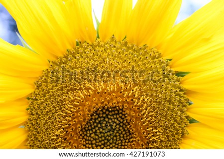 Close up macro shot of a blooming sunflower  - stock photo