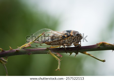 close-up macro shot of brown cicada on a branch - stock photo