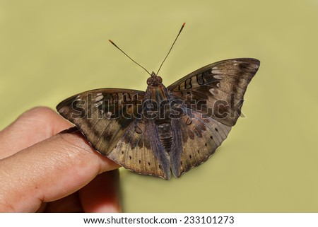 Close up male of mango baron butterfly on finger with green background - stock photo