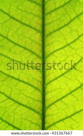 close up mango leaf texture - stock photo