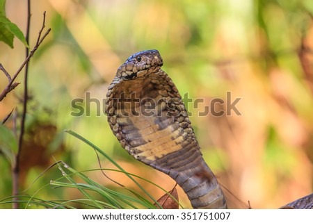 close up  Monocellate Cobra  (Naja kaouthia) in forest - stock photo