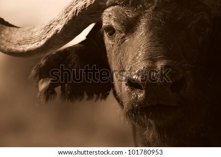 Close up monochrome portrait of cape buffalo head and horn - stock photo