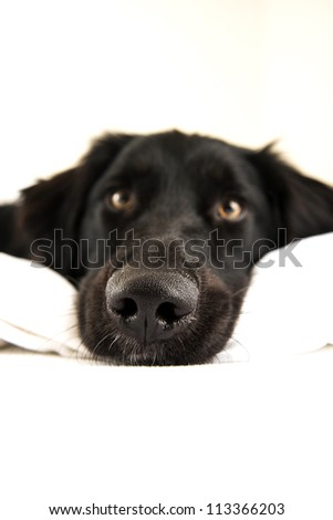 Close up  Nose of Cute Black Dog Sleeping in Owner's Bed - stock photo