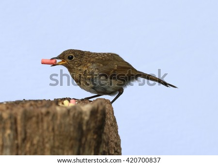 Close up of a baby Robin eating suet - stock photo
