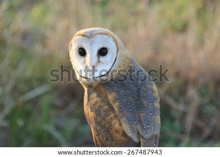 Close up of a Barn Owl - stock photo