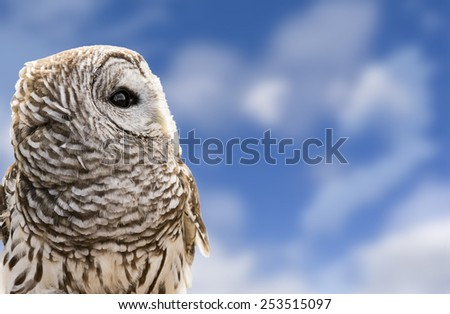 Close-up of a Barred Owl on a beautiful blue, cloudy sky background.  The Barred Owl is primarily a bird of eastern and northern U.S. forests. - stock photo