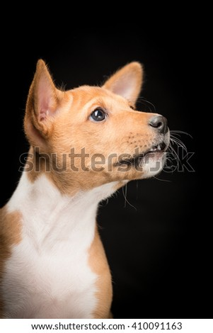 Close-up of a basenji puppy against black background barking - stock photo