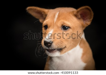 Close-up of a basenji puppy against black background looking down - stock photo