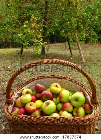 close-up of a basket full of apples - stock photo