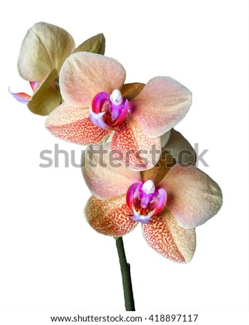 Close up of a beautiful blooming Cream colored Phalaenopsis â??Surf Songâ? orchid - stock photo