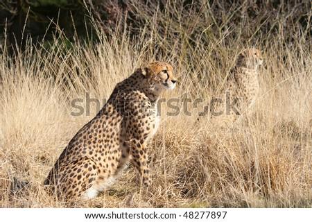 close-up of a beautiful cheetah (Acinonyx jubatus) - stock photo