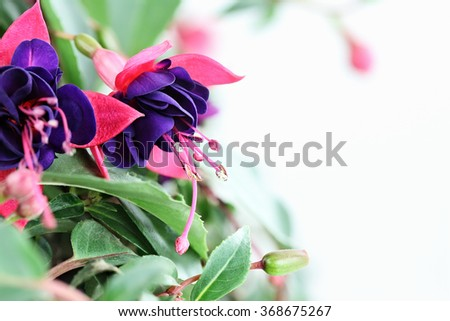 Close up of a beautiful Fuchsia plant with copy space. Selective focus with extreme shallow depth of field.   - stock photo