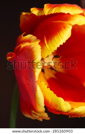 Close-up of a beautiful tulip with shallow DOF on black background - stock photo