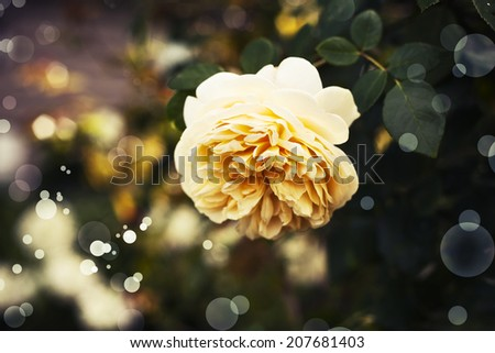 Close up of a beautiful yellow Rose, floral background made with color filters, Holidays Vintage card with beautiful rose .Concept photograph for Valentines Day, Memorials and Weddings - stock photo