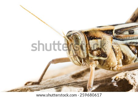 Close up of a big yellow grasshopper on white background - stock photo