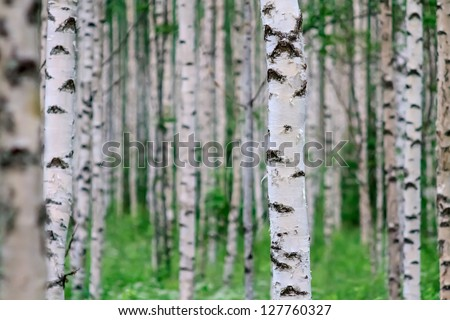 Close-up of a birch wood in summer in Finland - stock photo