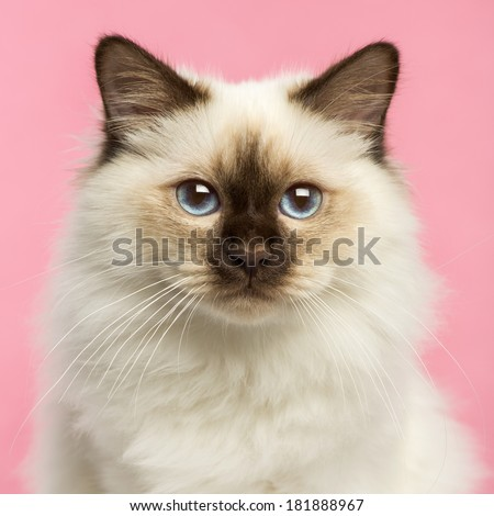 Close-up of a Birman kitten looking at the camera, 5 months old, on a pink background - stock photo