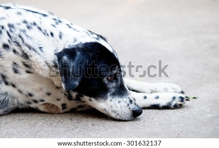 close up of a black and white dalmatian dog no purebred laying on the gray color concrete garage floor outdoor under direct natural sunlight lin summer - stock photo