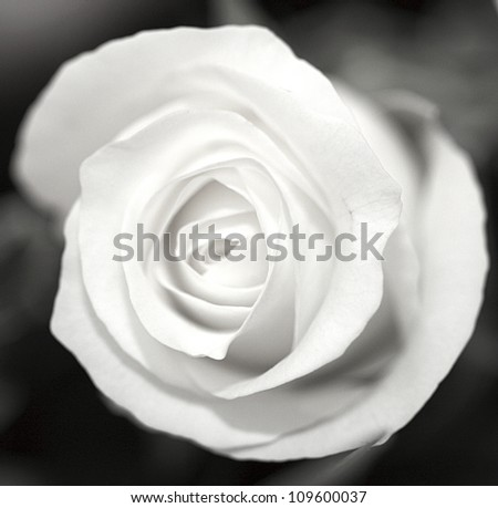 Close up of a black and white rose - stock photo