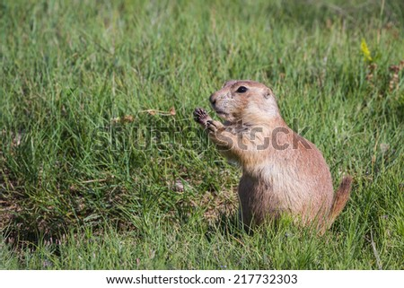 close up of a black tailed prairie dog in the grass lands of Wyoming - stock photo
