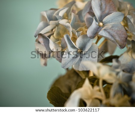 Close-up of a blue hydrangea plant  in retro style - stock photo