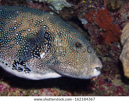 Close-up of a Blue Spotted Puffer fish - stock photo