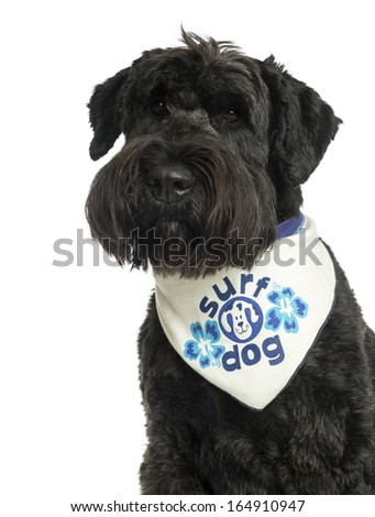 Close-up of a Bouvier des Flandres with bandana, 2 years old, isolated on white - stock photo