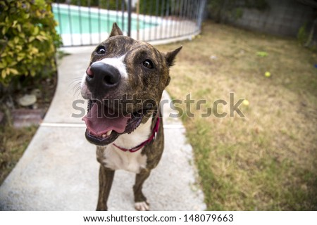 Close up of a brindle pitbull smiling in the yard waiting to play - stock photo