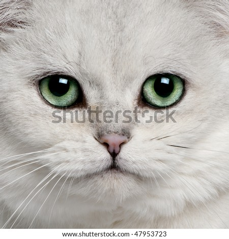 close up of a British Shorthair (5 years old) - stock photo
