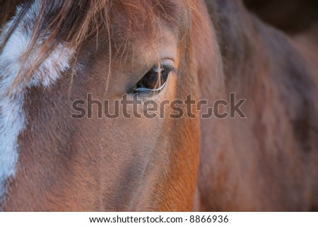 close-up of a brown horse's face/head. cute white in the middle. - stock photo