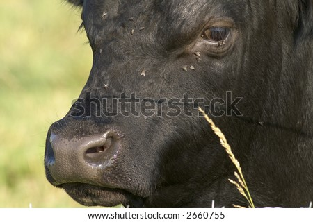 close up of a bull's face - stock photo