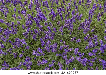 Close up of a bush of lavender - stock photo