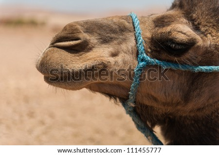 Close-up of a camel in the desert - stock photo