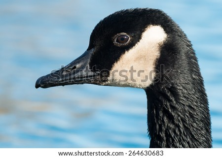 Close-up of a Canada Goose. - stock photo