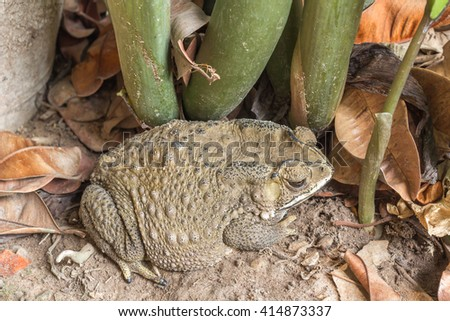 Close-up of a Cane toad,common toad - (Bufo bufo) - stock photo
