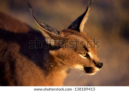 Close up of a Caracal (Caracal felix) taken in Botswana - stock photo