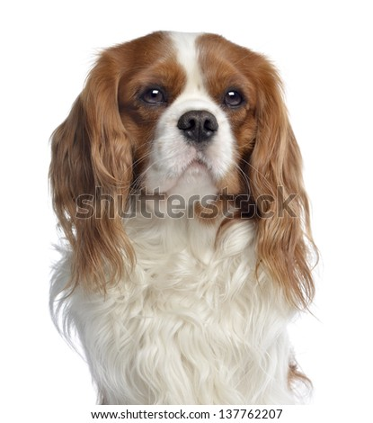 Close-up of a Cavalier King Charles, 2 years old, isolated on white - stock photo