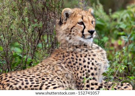 Close-up of a Cheetah cub, five month, in the bushes of the Serengeti - stock photo