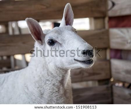 Close up of a Cheviot lamb looking at the camera.  Head and shoulders image. - stock photo