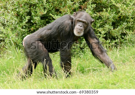 Close up of a Chimpanzee (pan troglodytes) - stock photo