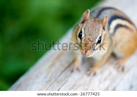 Close-up of a chipmunk on a log. He looks like he wants to have a conversation with you... - stock photo