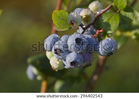 Close up of a cluster of wet, ripe, mountain blueberries covered in morning dew in early summer   - stock photo