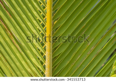 Close up of a coconut palm leaf/frond in tones of green, gold, orange, and yellow,  for use as an advertisement background/message, or for use as wallpaper. - stock photo