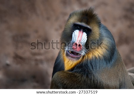 close-up of a colorful mandrill ((Mandrillus sphinx) - stock photo
