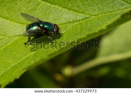 Close up of a common green bottle fly on a leaf - stock photo