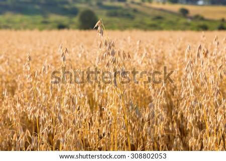 close up of a cornfield - stock photo